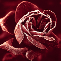 Red Winter Rose