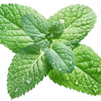 Wintergreen Spearmint